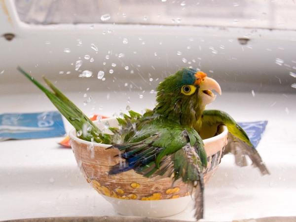 bathing-parrot