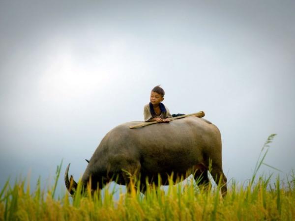 boy-ox-vietnam