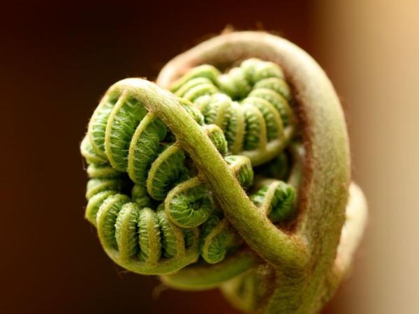 curled-fern-leaf