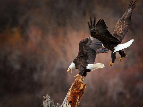 eagles-in-flight