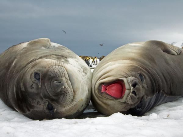 elephant-seals-pod