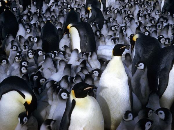 emporer-penguin-chicks-pod