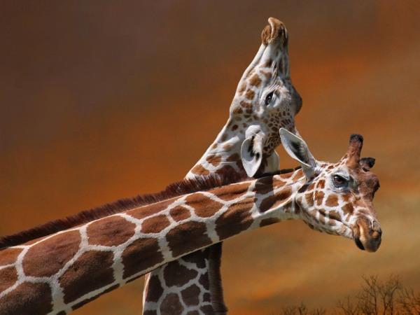 giraffe-mother-calf-pod