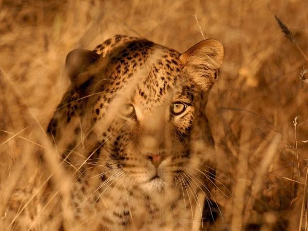 leopard-namibia-pod