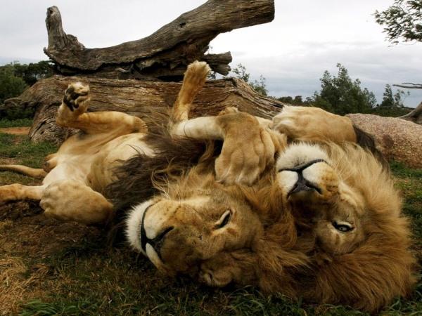 lion-brothers-australia-pod
