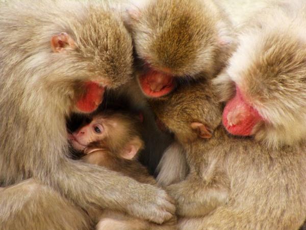macaque-family-japan-pod