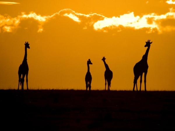 masa-mara-giraffes-pod