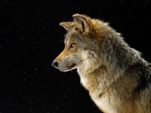 mexican-gray-wolf-profile-pod
