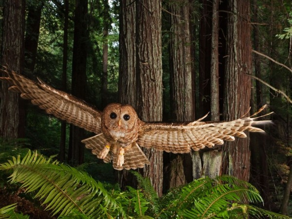 northern-spotted-owl-pod
