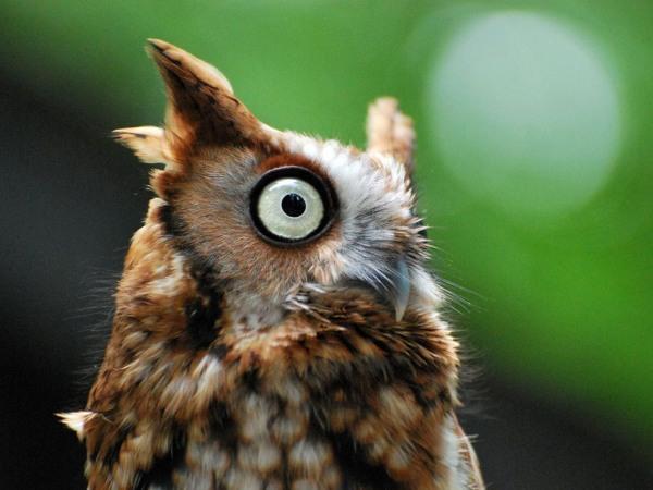 owl-carolina-raptor-center