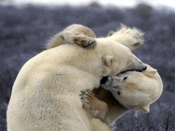 polar-bear-tussle-pod