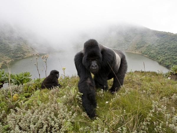 silverback-gorillas-pod