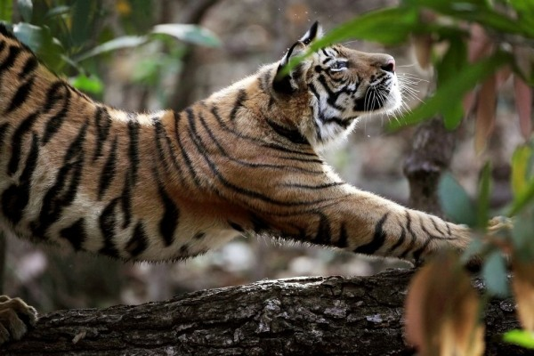 tiger-stretch-india
