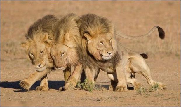 leoes-bebados-1