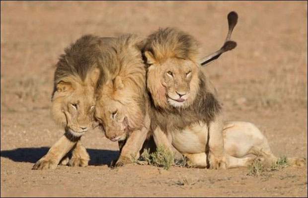 leoes-bebados-2