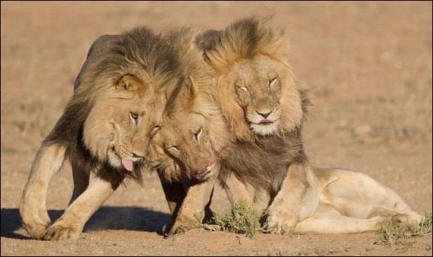 leoes-bebados-3
