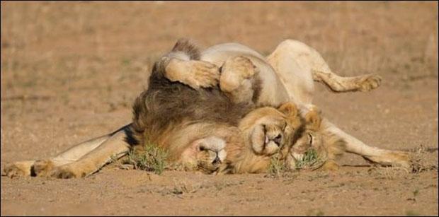 leoes-bebados-4