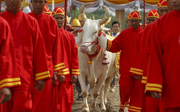 An oxen ploughs the land during an annual ploughing ceremony in central Bangkok
