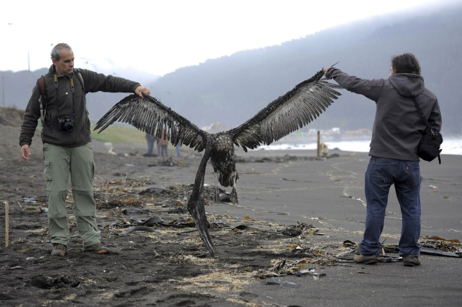 Workers of an environmental corporation hold up a dead pelican at a beach near Concepcion city