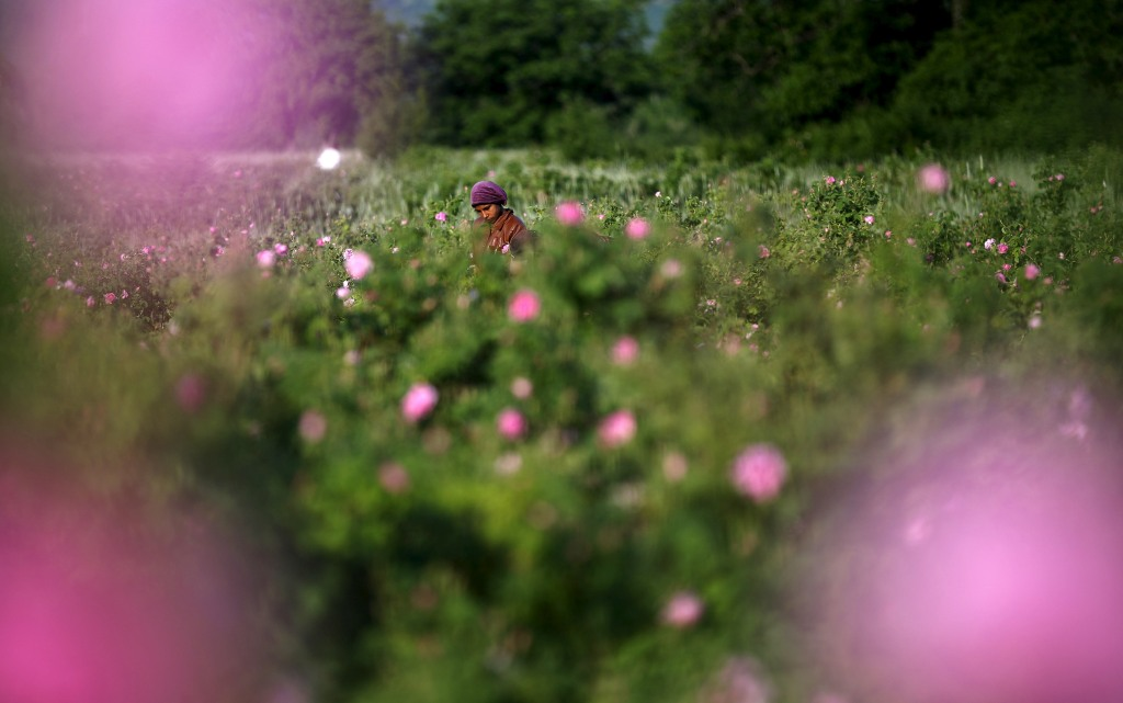 Worker gathers rose petals on a rose field near the village of Pevtsit