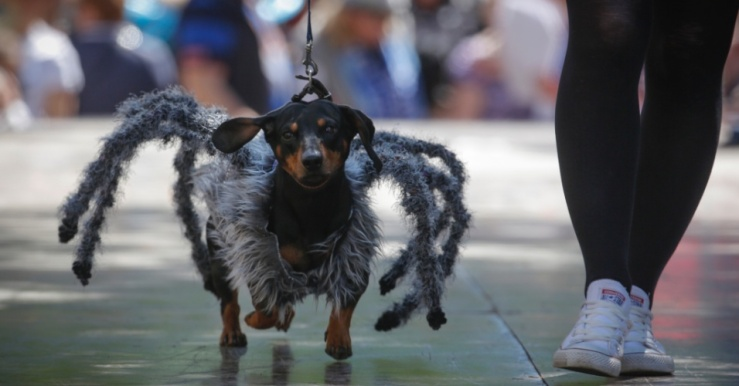 30mai2015---mulher-anda-com-seu-dachshund-vestido-como-uma-aranha-durante-um-desfile-de-caes-em-sao-petersburgo-russia-1433007949693_956x500