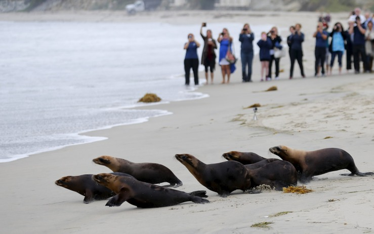 Fourteen sea lions which were rescued by the Pacific Marine Mammal Center, are released back to their ocean home in Laguna Beach