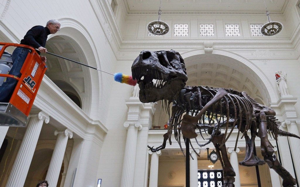 """Geologist Bill Simpson uses a feather duster to clean the 67-million-year-old Tyrannosaurus Rex fossil known as """"SUE"""" at The Field Museum in Chicago"""