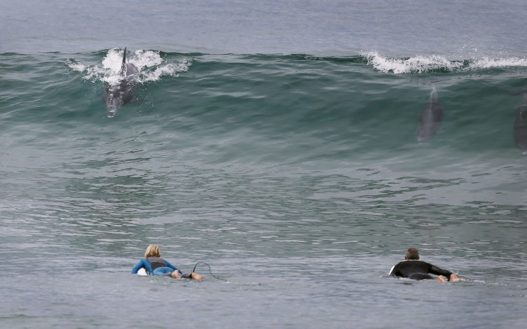 Surfers look on as a pair of dolphins ride the waves off Sydney's Palm Beach