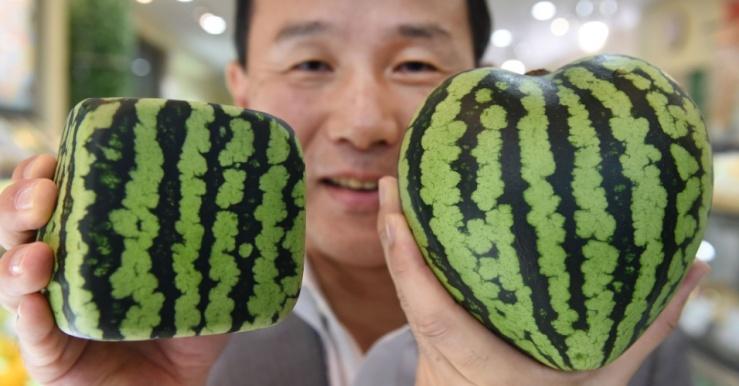 3jul2015---mototaka-nishimura-diretor-de-loja-que-comercializa-frutas-de-luxo-em-toquio-no-japao-mostra-melancias-em-formato-de-quadrado-e-de-coracao-frutas-do-tipo-sao-vendidas-como-joias-no-pais-143593359684