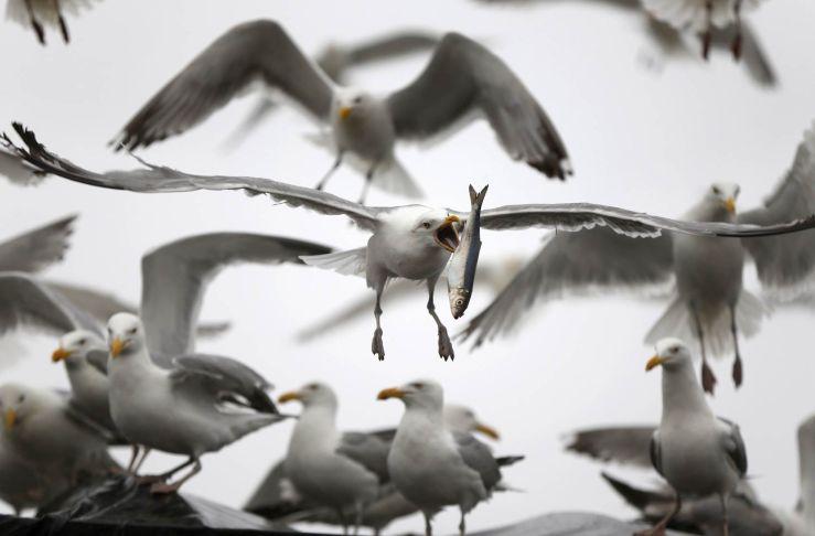 gaivota-peixe
