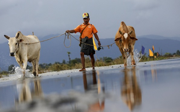A man pulls his oxen as he walks don on a flooded road at Kawlin township, Sagaing division, Myanmar