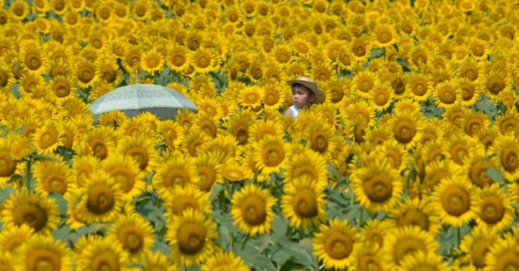 26jul2015---sobre-os-ombros-do-pai-garoto-se-destaca-sobre-as-flores-num-campo-de-girassois-em-nogi-no-japao-o-campo-com-mais-de-200-mil-flores-e-um-dos-destaques-para-turistas-que-visitam-a-cidade-1437888598118_