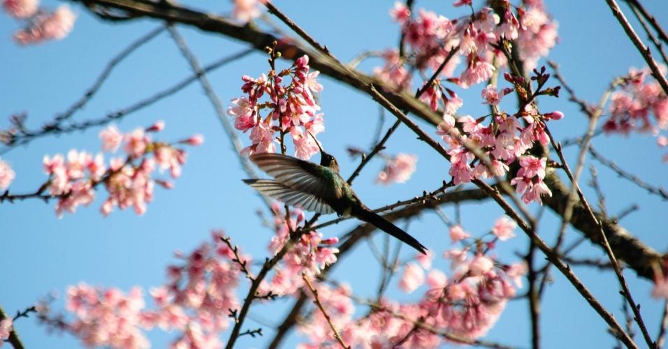 29jul2015---florada-das-cerejeiras-no-parque-carmo-em-sao-paulo-sp-o-local-recebe-a-tradicional-festa-das-cerejeiras-nos-dias-31-de-julho-1-e-2-de-agosto-1438213343847_956x500
