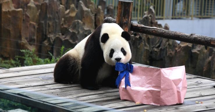 30jul2015---panda-gigante-feiyun-ganha-presente-de-aniversario-ao-completar-cinco-anos-no-zoologico-de-dalian-na-china-1438271636103_956x500
