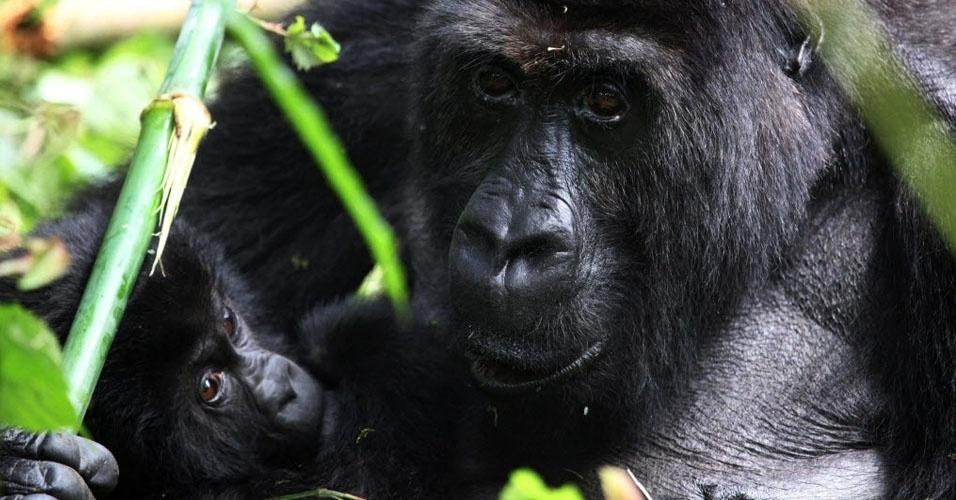 com-uma-populacao-de-cerca-de-300-membros-que-vivem-em-uganda-e-na-republica-do-congo-os-gorilas-das-montanhas-adultos-tambem-integram-a-lista-de-animais-que-podem-entrar-em-extincao-a-partir-de-2015-1421971642107_956x5