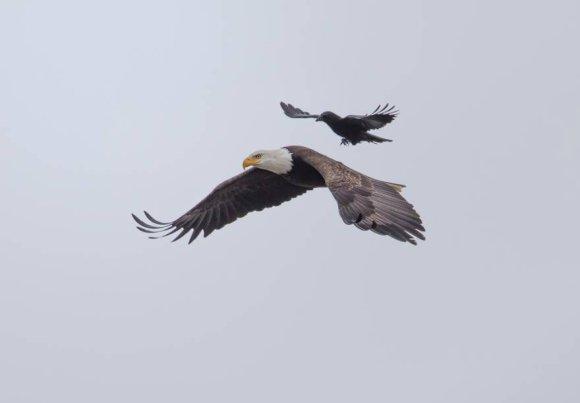 corvo-e-aguia-1