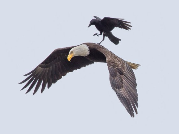 corvo-e-aguia-2