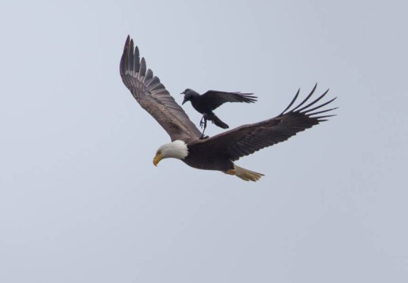 corvo-e-aguia-3