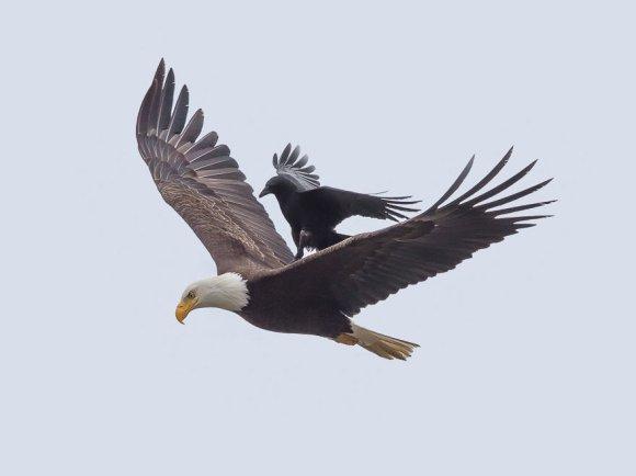 corvo-e-aguia-4