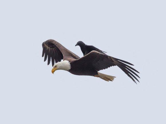corvo-e-aguia-51