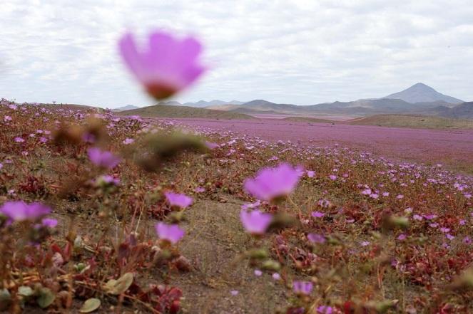"""CH01. VALLENAR (CHILE), 25/10/2015.- Fotografía del 21 de octubre de 2015 del árido desierto de Chile que cada cinco o siete años se transforma en una alfombra de flores de color malva pero las abundantes precipitaciones que han mojado la hostil tierra norteña del país estos últimos meses, han propiciado el """"florecimiento más espectacular de los últimos 18 años"""", en la región de Atacama, localidad distante a 750 kilómetros al norte de Santiago (Chile). EFE/Mario Ruiz"""