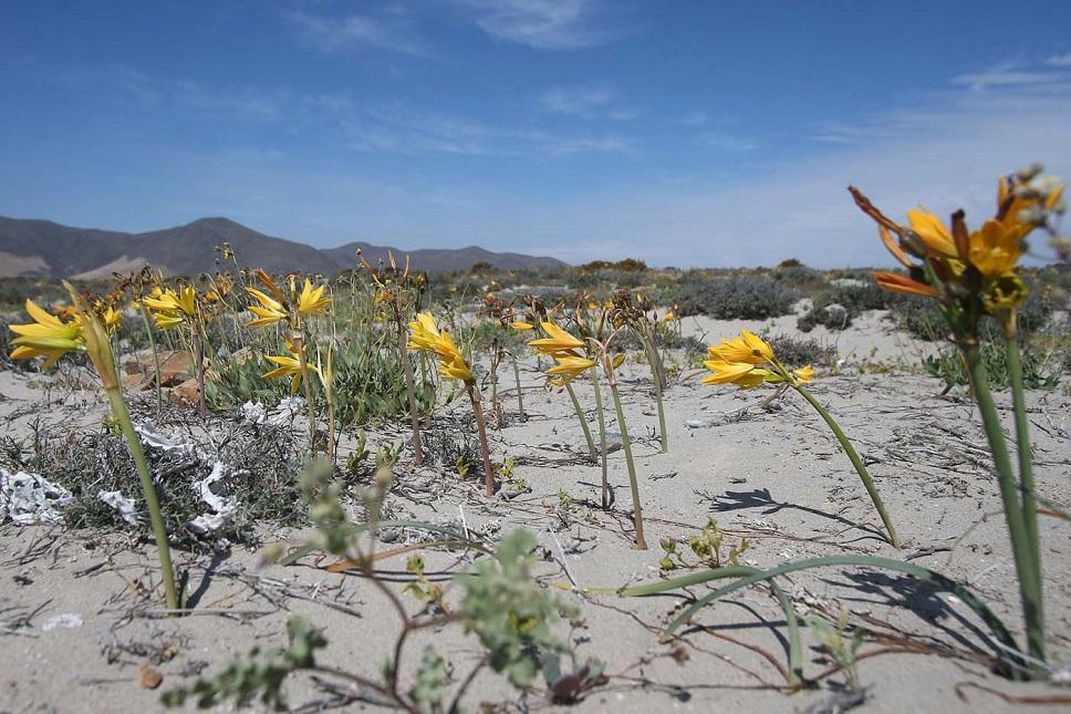 """CH04. VALLENAR (CHILE), 25/10/2015.- Fotografía del 21 de octubre de 2015 del árido desierto de Chile que cada cinco o siete años se transforma en una alfombra de flores de color malva pero las abundantes precipitaciones que han mojado la hostil tierra norteña del país estos últimos meses, han propiciado el """"florecimiento más espectacular de los últimos 18 años"""", en la región de Atacama, localidad distante a 750 kilómetros al norte de Santiago (Chile). EFE/Mario Ruiz"""