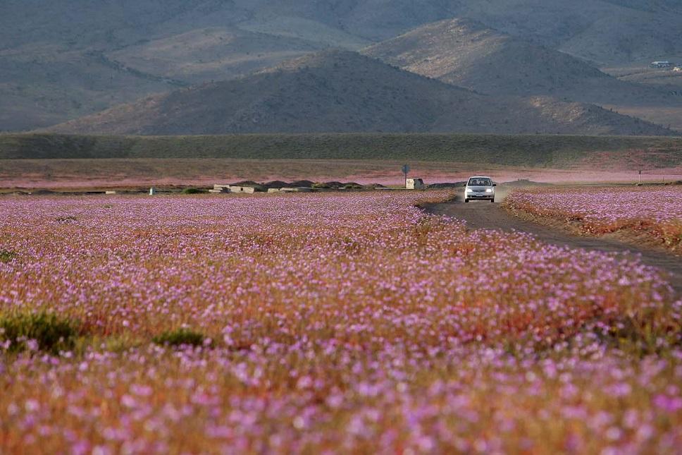 """CH08. VALLENAR (CHILE), 25/10/2015.- Fotografía del 21 de octubre de 2015 del árido desierto de Chile que cada cinco o siete años se transforma en una alfombra de flores de color malva pero las abundantes precipitaciones que han mojado la hostil tierra norteña del país estos últimos meses, han propiciado el """"florecimiento más espectacular de los últimos 18 años"""", en la región de Atacama, localidad distante a 750 kilómetros al norte de Santiago (Chile). EFE/Mario Ruiz"""