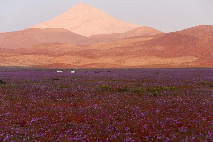 """CH11. VALLENAR (CHILE), 25/10/2015.- Fotografía del 21 de octubre de 2015 del árido desierto de Chile que cada cinco o siete años se transforma en una alfombra de flores de color malva pero las abundantes precipitaciones que han mojado la hostil tierra norteña del país estos últimos meses, han propiciado el """"florecimiento más espectacular de los últimos 18 años"""", en la región de Atacama, localidad distante a 750 kilómetros al norte de Santiago (Chile). EFE/Mario Ruiz"""
