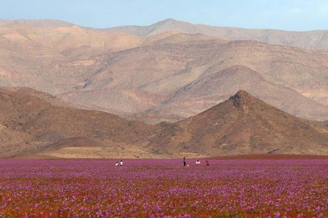 """CH10. VALLENAR (CHILE), 25/10/2015.- Fotografía del 21 de octubre de 2015 del árido desierto de Chile que cada cinco o siete años se transforma en una alfombra de flores de color malva pero las abundantes precipitaciones que han mojado la hostil tierra norteña del país estos últimos meses, han propiciado el """"florecimiento más espectacular de los últimos 18 años"""", en la región de Atacama, localidad distante a 750 kilómetros al norte de Santiago (Chile). EFE/Mario Ruiz"""