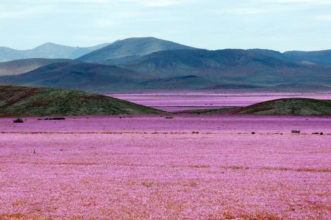 """CH12. VALLENAR (CHILE), 25/10/2015.- Fotografía del 21 de octubre de 2015 del árido desierto de Chile que cada cinco o siete años se transforma en una alfombra de flores de color malva pero las abundantes precipitaciones que han mojado la hostil tierra norteña del país estos últimos meses, han propiciado el """"florecimiento más espectacular de los últimos 18 años"""", en la región de Atacama, localidad distante a 750 kilómetros al norte de Santiago (Chile). EFE/Mario Ruiz"""