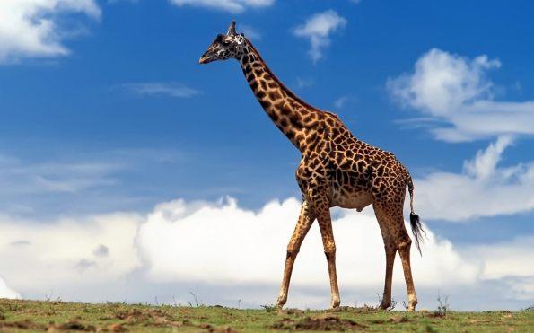 girafa_3