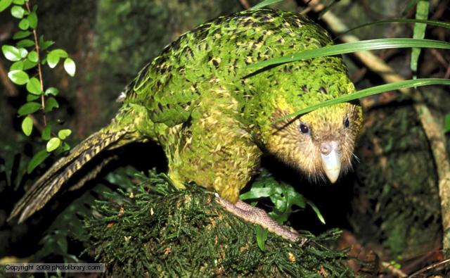 kakapo strigops habroptilus endemic new zealand