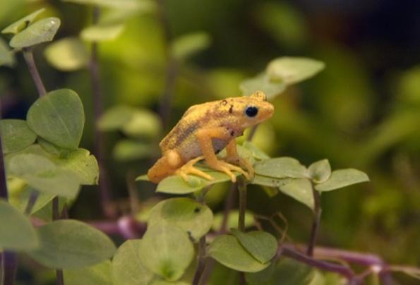 Kihansi_spray_toads-03