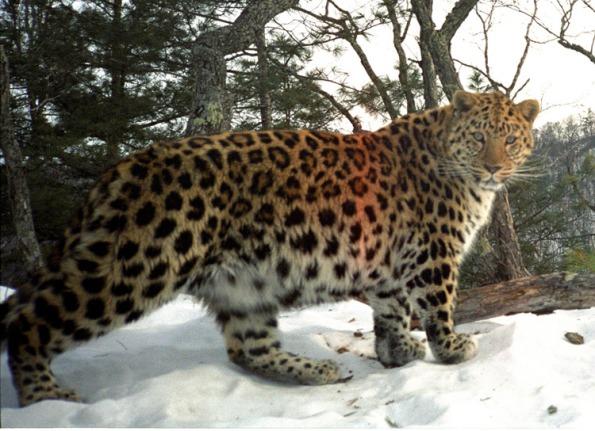 Leopardo-de-Amur